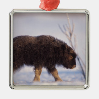 muskox, Ovibos moschatus, newborn calf on the Christmas Ornament