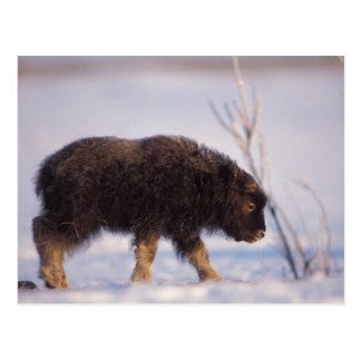muskox, Ovibos moschatus, newborn calf on the Postcard