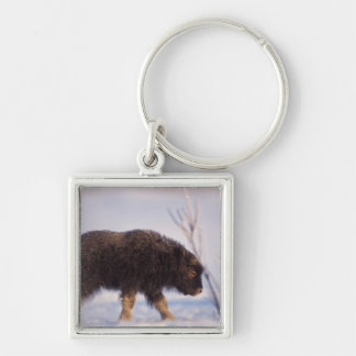 muskox, Ovibos moschatus, newborn calf on the Silver-Colored Square Key Ring