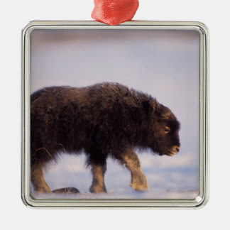 muskox, Ovibos moschatus, newborn calf walking Silver-Colored Square Decoration