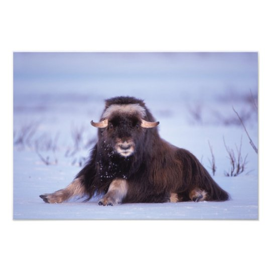 muskox, Ovibos moschatus, young bull on the Photo Print