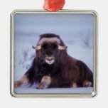 muskox, Ovibos moschatus, young bull on the Silver-Colored Square Decoration