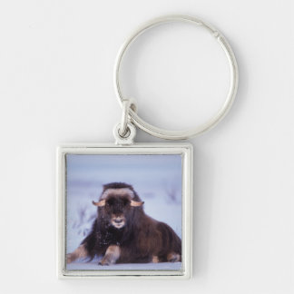 muskox, Ovibos moschatus, young bull on the Silver-Colored Square Key Ring
