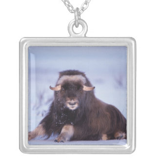 muskox, Ovibos moschatus, young bull on the Silver Plated Necklace
