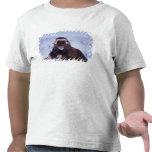 muskox, Ovibos moschatus, young bull on the Tee Shirts