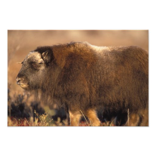 muskox, Ovibos moschatus, youth on the central Photo Print