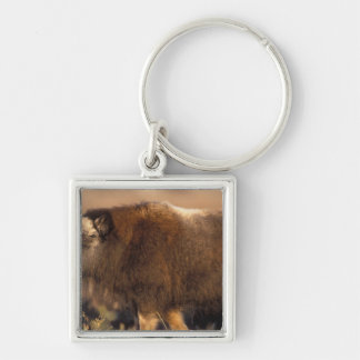 muskox, Ovibos moschatus, youth on the central Silver-Colored Square Key Ring