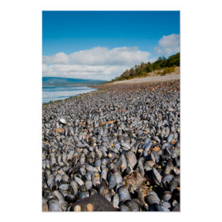 Mussels along shoreline in Patagonia, Argentina Poster