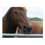 Mustang at Fence Postcard
