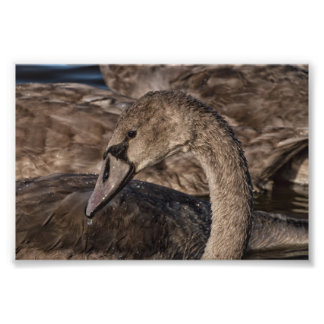 Mute Swan Cygnet Photo Print