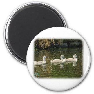 Mute Swan Cygnets 9R054D-147 Magnets