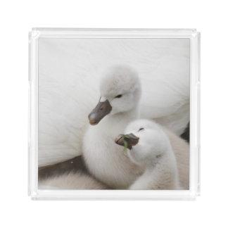 Mute Swan cygnets. Acrylic Tray