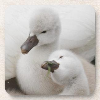 Mute Swan cygnets. Coaster