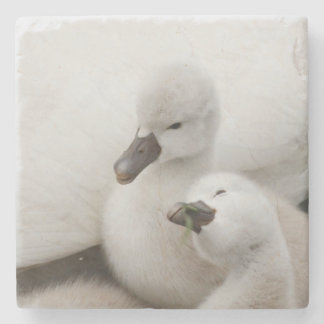 Mute Swan cygnets. Stone Coaster