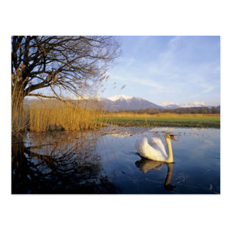 Mute Swan, Cygnus olor,adult with Alps in Postcard