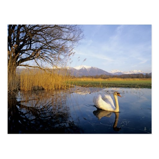 Mute Swan, Cygnus olor,adult with Alps in Post Card