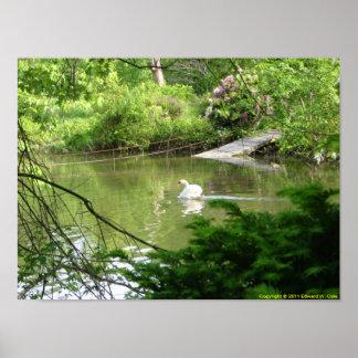 Mute Swan (Cygnus Olor) by Footbridge Poster