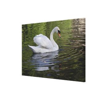 Mute Swan (Cygnus olor) Louisville, Kentucky 2 Gallery Wrap Canvas