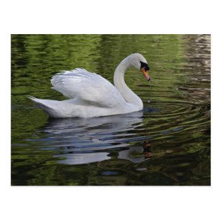 Mute Swan (Cygnus olor) Louisville, Kentucky 2 Postcard