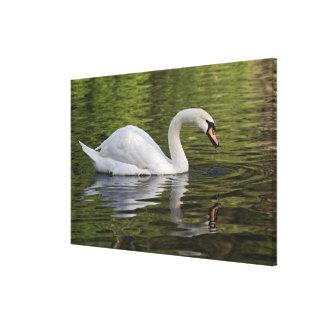 Mute Swan (Cygnus olor) Louisville, Kentucky Gallery Wrapped Canvas