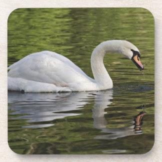 Mute Swan (Cygnus olor) Louisville, Kentucky Coaster