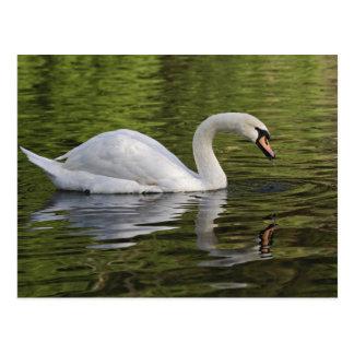 Mute Swan (Cygnus olor) Louisville, Kentucky Postcard