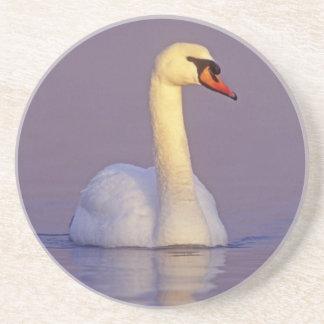 Mute Swan, Cygnus olor,male, Unterlunkhofen, Coaster
