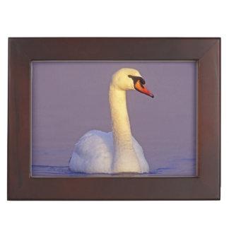 Mute Swan, Cygnus olor,male, Unterlunkhofen, Keepsake Box