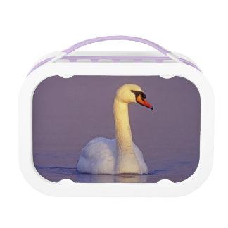 Mute Swan, Cygnus olor,male, Unterlunkhofen, Lunch Box