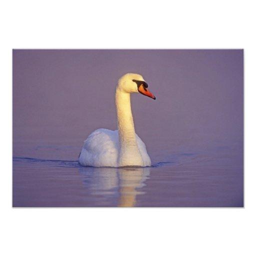 Mute Swan, Cygnus olor,male, Unterlunkhofen, Photo Print