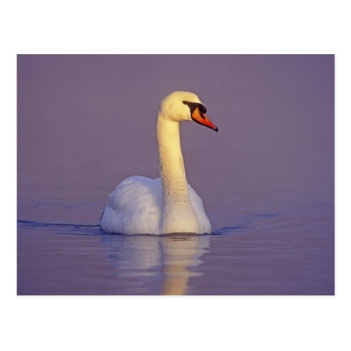 Mute Swan, Cygnus olor,male, Unterlunkhofen, Postcards