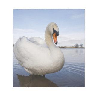 Mute Swan (Cygnus olor) on flooded field, Notepad