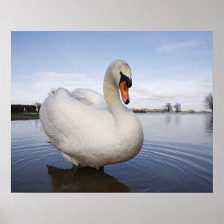 Mute Swan (Cygnus olor) on flooded field, Poster