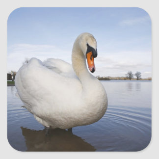 Mute Swan (Cygnus olor) on flooded field, Square Sticker