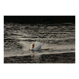 Mute Swan Print