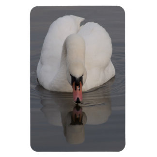 Mute Swan Rectangular Photo Magnet