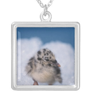muw gull chick, Larus canus, on iceberg at Silver Plated Necklace