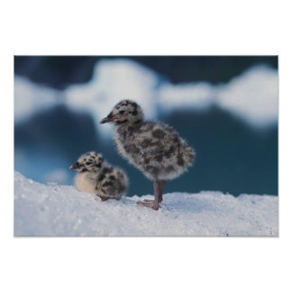 muw gull chicks, Larus canus, on an iceberg at 2 Poster