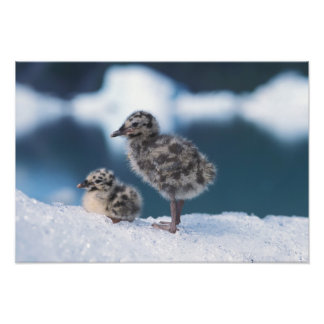 muw gull chicks, Larus canus, on an iceberg at Photo Print