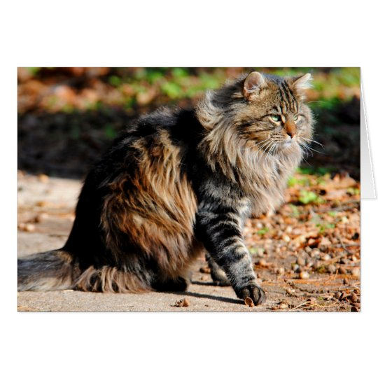 My Acorn Maine Coon Cat Card