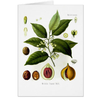 Myristica fragrans (nutmeg) greeting card