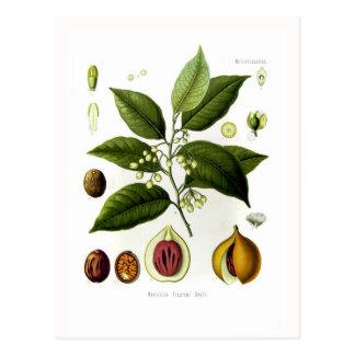 Myristica fragrans (nutmeg) postcards