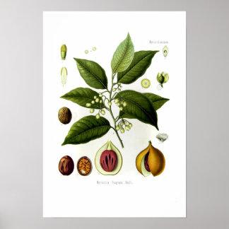 Myristica fragrans (nutmeg) print