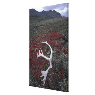 N.A., USA, Alaska, A.N.W.R. Caribou antler lies Canvas Print