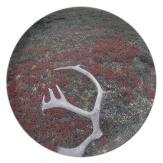 N.A., USA, Alaska, A.N.W.R. Caribou antler lies Plates