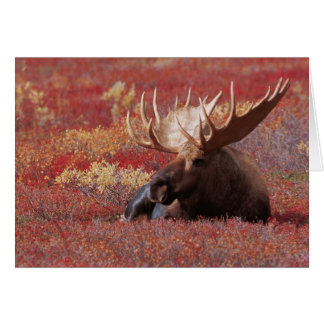 N.A., USA, Alaska, Denali National Park, Bull Card