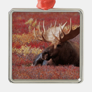 N.A., USA, Alaska, Denali National Park, Bull Christmas Ornament