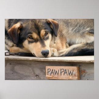 N.A., USA, Alaska. Husky sled dogs at 2 Poster