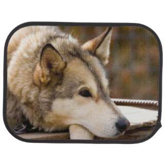 N.A., USA, Alaska. Husky sled dogs at 3 Car Mat
