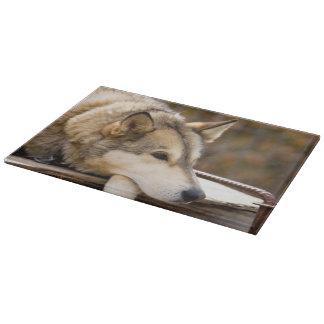 N.A., USA, Alaska. Husky sled dogs at 3 Cutting Board